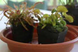 native plants to texas photos these carnivorous plants want to lure you to san antonio kut