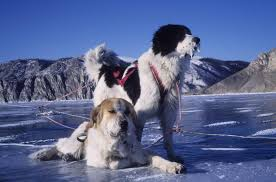 Czech mountain dog mushing expedition Baikal Eastern Siberia in