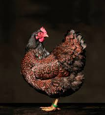 portraits of hens and roosters