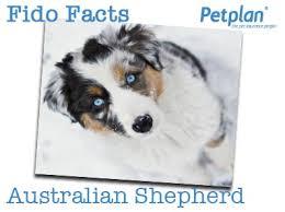 australian shepherd 60 minutes fido facts australian shepherd petplan blog