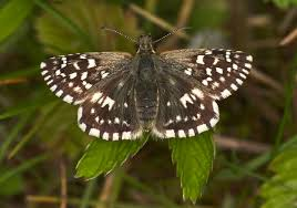 butterfly conservation grizzled skipper