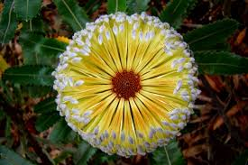 canberra native plants banksia wikipedia