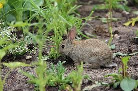 rabbit garden protecting your garden from rabbits and deer