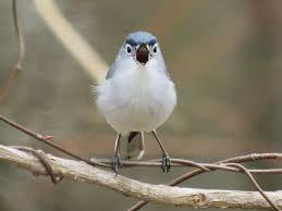 Nc Backyard Birds Carolina Bird Club Photo Gallery