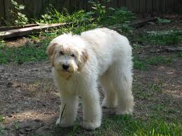 how to cut a goldendoodles hair a walk through myth busters goldendoodle edition