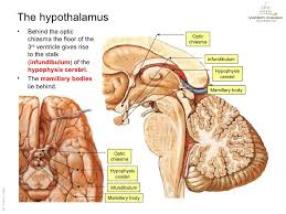 Behind The Ear Anatomy 2