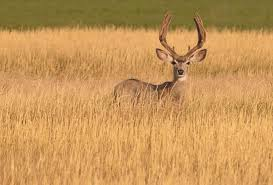 North Dakota Wildlife images North dakota pushes mule deer rebound gohunt jpg