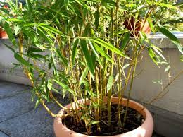 topfpflanzen balkon bambus als topfpflanzen balkon terasse1 pflanzen