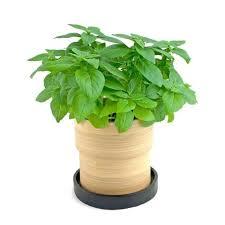 basilico in vaso malattie coltivare basilico aromatiche consigli per la coltivazione
