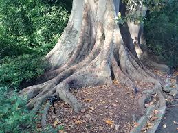 huge tree roots at melbourne botanic garden janna schreier