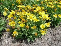 native louisiana plants mesa gaillardia named louisiana super plant lsu agcenter