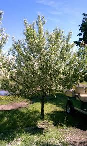 minnesota tree sales large trees transplant moving