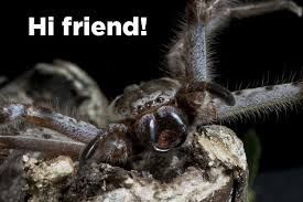 Cute Spider Meme - 18 reasons the huntsman spider is your new best friend
