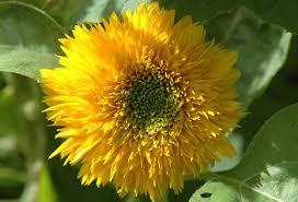 teddy sunflowers garden posts teddy sunflowers