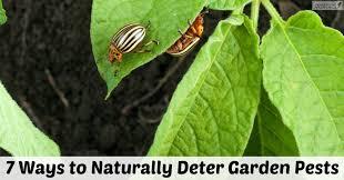 7 natural vegetable garden pest deterrents midwest modern momma