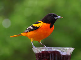 Maryland birds images 19 north carolina state bird and flower maine state bird jpg
