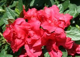 Azalea Topiary Shrubs You U0027ll Love U0026 Topiaries For Shape Monrovia