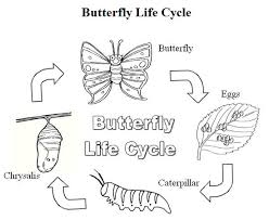 butterfly life cycle life cycle pinterest butterfly