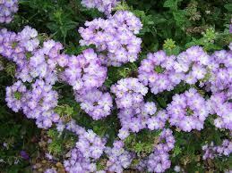rhs advice u0026 tips on garden u0026 indoor plants plant finder
