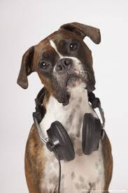 boxer dog 2015 83 best boxer dog images on pinterest boxers boxer love and