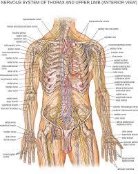 Female Body Anatomy Drawing 13 Best Human Anatomy Drawing Images On Pinterest Human Anatomy