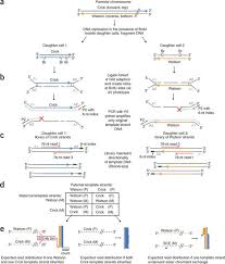 dna template strand sequencing of single cells maps genomic