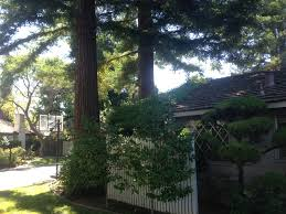 Trees Backyard Pics Redwood Trees Too Close To The House Growing 2014 Vines