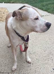 colby american pitbull terrier pit pei dog breed information and pictures