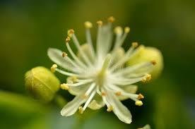linden flower linden flower stock image image of herb taste stamen 56983251