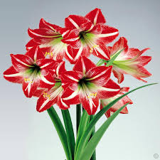 amaryllis flower amaryllis minerva 32 34 1 flower bulb buy online order now