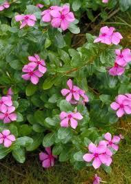 Vinca Flower Information - madagascar periwinkle catharanthus roseus also vinca pacifica xp