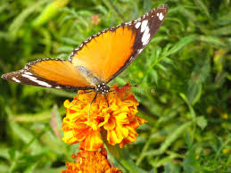 Butterfly Flower Monarch Viceroy Orange Butterfly On Flower Stock Photo Image