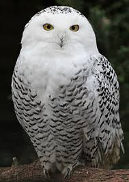 white owl 2 wallpapers snowy owl wallpapers animal hq snowy owl pictures 4k wallpapers
