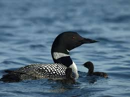 47 best loon images on loon newport oregon and