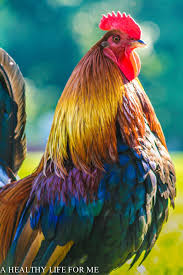 sounds and actions of a rooster a healthy life for me