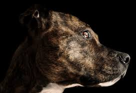 american pit bull terrier brindle brindle pit bull facts cuteness