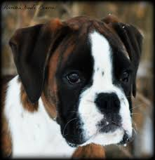 boxer dog price havenwoods boxers top quality akc german and american boxers