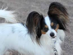 papillon puppies for sale in az agility papillons in arizona