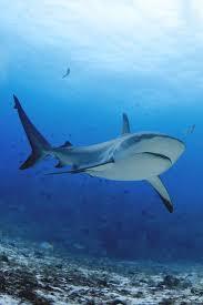 1095 best cartilaginosos images on pinterest shark week ocean