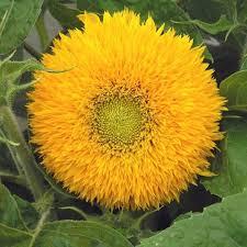 teddy sunflowers sunflower teddy seeds helianthus annuus