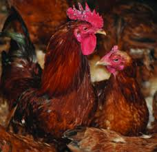 types of backyard chickens know the right type of chicken to rear for profit the organic farmer