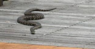 How To Avoid Snakes In Backyard Snake Season In Australia Keeping Children U0026 Pets Safe