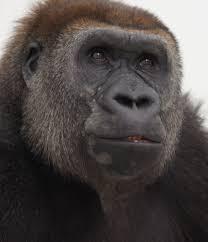 Gorilla by Alice One Of Como Zoo U0027s Gorillas Is Pregnant Again Startribune Com