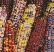ornamental corn seed ornamental indian corn seed fresh seed free