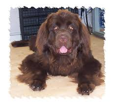 Do Newfoundlands Shed Year Round by Groomingtips Wwwacek9