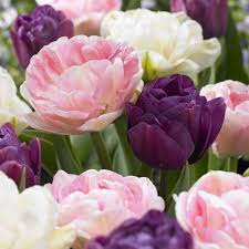 how to plant tulips and other spring flowering bulbs