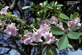 pink flower tree of hawaii cus plants uh botany