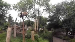 panda nearly falls the tree