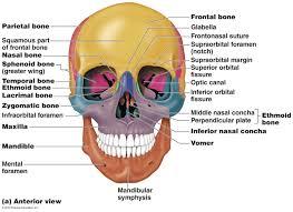 human skull anatom guide anatomy quiz skull at best anatomy learn