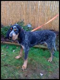 bluetick coonhound nz american black and tan coonhound recommended great nose playful